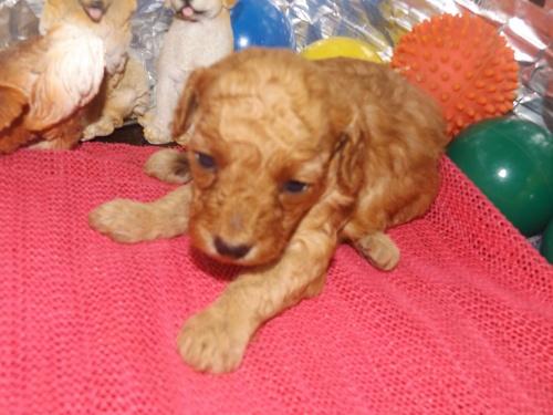 トイプードルの子犬(ID:1244111260)の1枚目の写真/更新日:2018-06-12