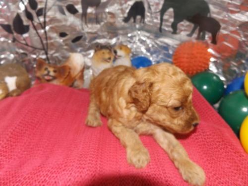 トイプードルの子犬(ID:1244111260)の2枚目の写真/更新日:2018-06-12