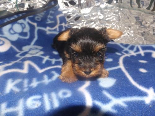 ヨークシャーテリアの子犬(ID:1244111272)の1枚目の写真/更新日:2018-11-12