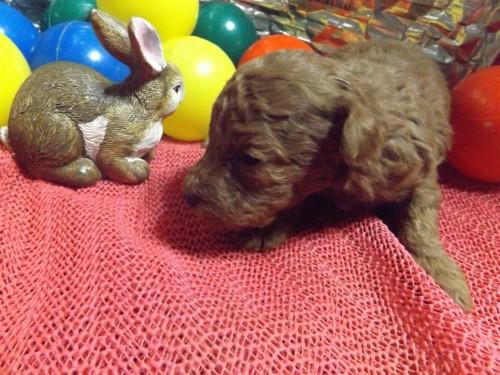 トイプードルの子犬(ID:1244111273)の1枚目の写真/更新日:2018-12-19