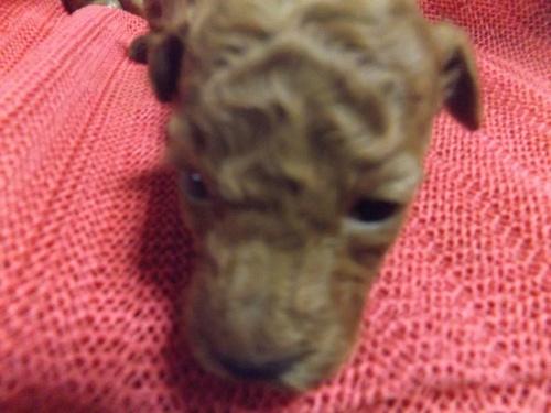 トイプードルの子犬(ID:1244111273)の2枚目の写真/更新日:2018-12-19