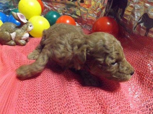 トイプードルの子犬(ID:1244111273)の3枚目の写真/更新日:2018-12-19