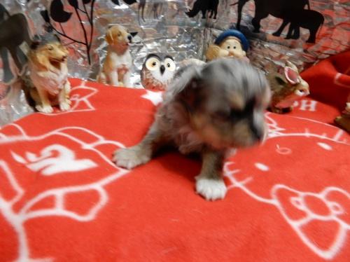 チワワ(ロング)の子犬(ID:1244111274)の1枚目の写真/更新日:2018-12-19
