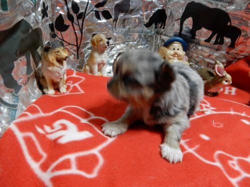 チワワ(ロング)の子犬(ID:1244111274)の2枚目の写真/更新日:2018-12-19