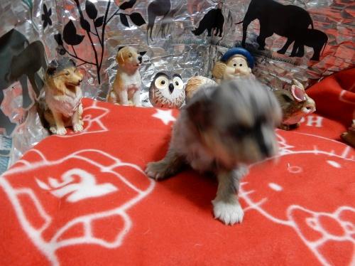 チワワ(ロング)の子犬(ID:1244111274)の3枚目の写真/更新日:2018-12-19