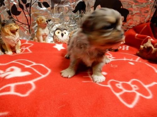 チワワ(ロング)の子犬(ID:1244111274)の4枚目の写真/更新日:2018-12-19