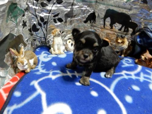 チワワ(スムース)の子犬(ID:1244111276)の1枚目の写真/更新日:2018-12-19