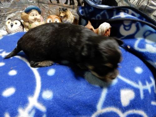 チワワ(スムース)の子犬(ID:1244111276)の2枚目の写真/更新日:2018-12-19