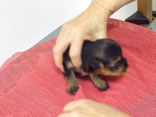 ヨークシャーテリアの子犬(ID:1244111298)の2枚目の写真/更新日:2019-11-30