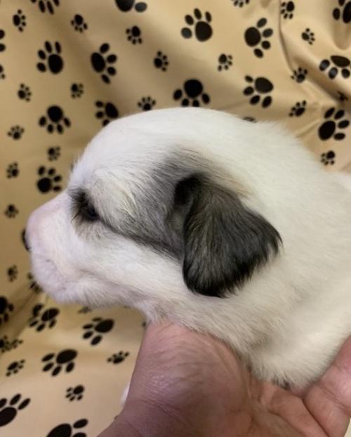 グレートピレニーズの子犬(ID:1244311001)の2枚目の写真/更新日:2018-10-16
