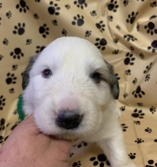 グレートピレニーズの子犬(ID:1244311001)の3枚目の写真/更新日:2018-10-16