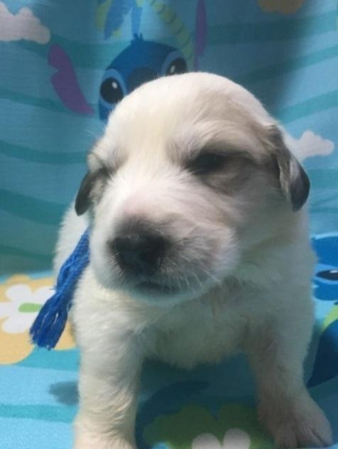 グレートピレニーズの子犬(ID:1244311002)の1枚目の写真/更新日:2018-10-16
