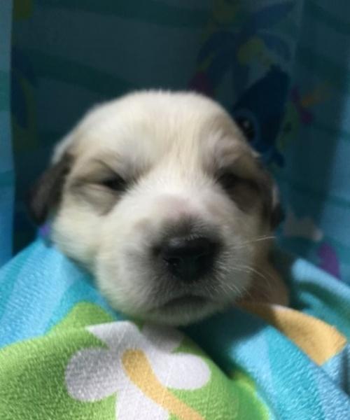 グレートピレニーズの子犬(ID:1244311002)の3枚目の写真/更新日:2018-10-16