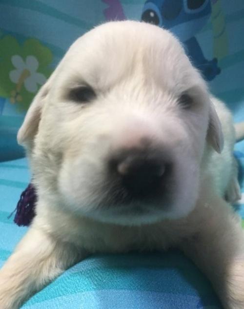 グレートピレニーズの子犬(ID:1244311003)の1枚目の写真/更新日:2018-10-16