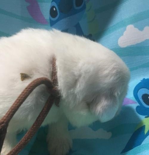 グレートピレニーズの子犬(ID:1244311003)の2枚目の写真/更新日:2018-10-16