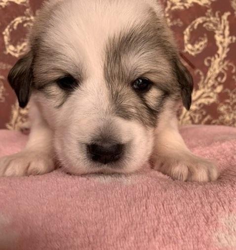 グレートピレニーズの子犬(ID:1244311004)の1枚目の写真/更新日:2018-10-16
