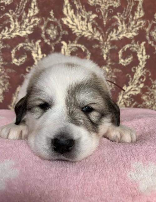 グレートピレニーズの子犬(ID:1244311004)の3枚目の写真/更新日:2018-10-16