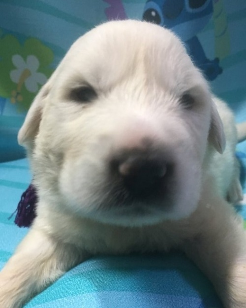 グレートピレニーズの子犬(ID:1244311005)の1枚目の写真/更新日:2018-10-16