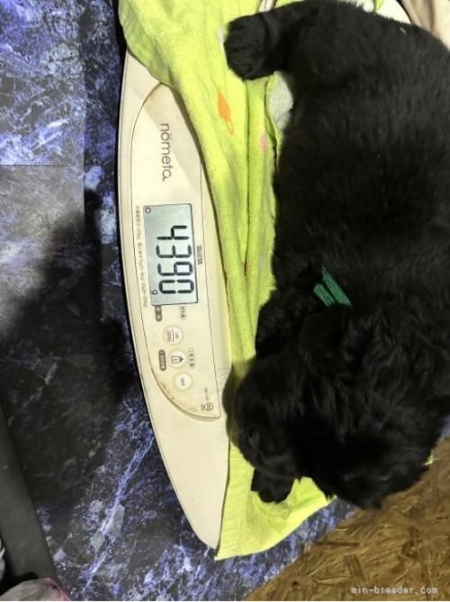 ニューファンドランドの子犬(ID:1244311032)の4枚目の写真/更新日:2020-09-25