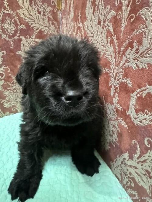 ニューファンドランドの子犬(ID:1244311034)の3枚目の写真/更新日:2020-09-25