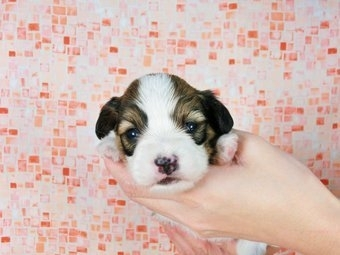 パピヨンの子犬(ID:1244711345)の3枚目の写真/更新日:2017-01-10