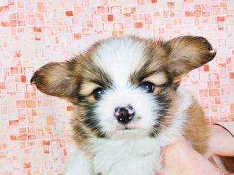 パピヨンの子犬(ID:1244711352)の3枚目の写真/更新日:2017-01-31