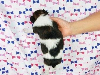 パピヨンの子犬(ID:1244711354)の4枚目の写真/更新日:2017-01-16