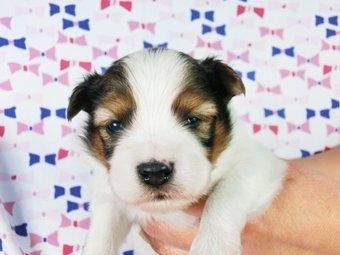 パピヨンの子犬(ID:1244711355)の1枚目の写真/更新日:2017-01-16