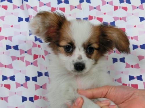 パピヨンの子犬(ID:1244711357)の1枚目の写真/更新日:2017-03-10