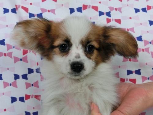 パピヨンの子犬(ID:1244711357)の2枚目の写真/更新日:2017-03-10
