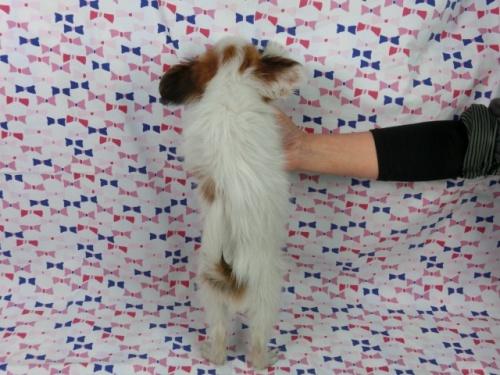 パピヨンの子犬(ID:1244711357)の4枚目の写真/更新日:2017-03-10