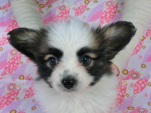 パピヨンの子犬(ID:1244711358)の3枚目の写真/更新日:2017-02-10