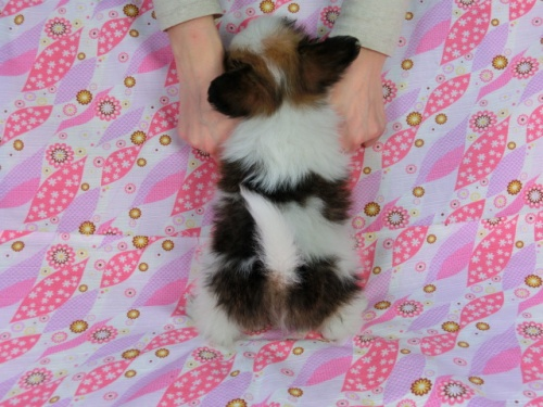 パピヨンの子犬(ID:1244711358)の4枚目の写真/更新日:2017-02-10