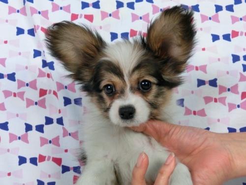 パピヨンの子犬(ID:1244711359)の1枚目の写真/更新日:2017-03-14