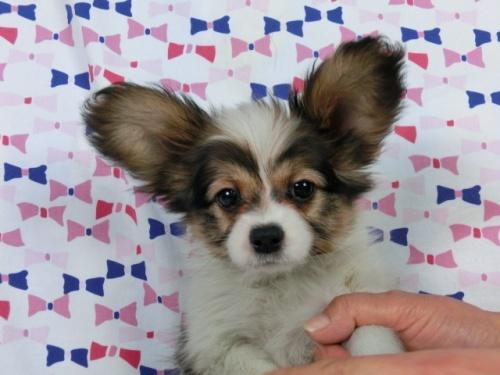 パピヨンの子犬(ID:1244711359)の2枚目の写真/更新日:2017-03-14