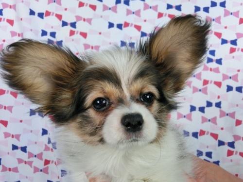 パピヨンの子犬(ID:1244711359)の3枚目の写真/更新日:2017-03-14