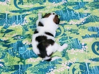 パピヨンの子犬(ID:1244711361)の4枚目の写真/更新日:2017-01-19