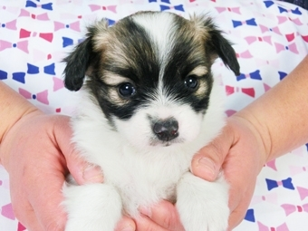 パピヨンの子犬(ID:1244711364)の2枚目の写真/更新日:2017-02-07