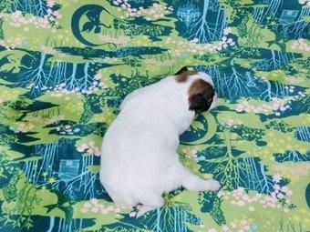 パピヨンの子犬(ID:1244711365)の4枚目の写真/更新日:2017-01-19