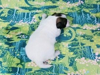 パピヨンの子犬(ID:1244711366)の4枚目の写真/更新日:2017-01-19