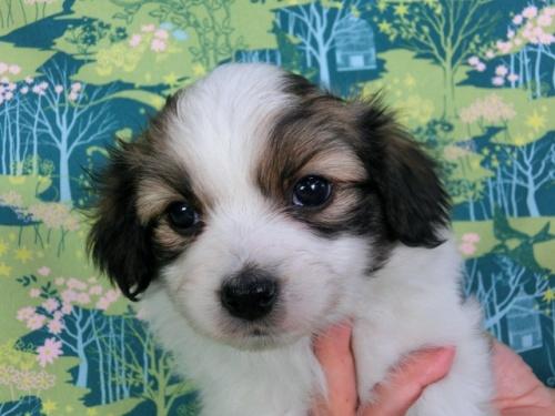 パピヨンの子犬(ID:1244711367)の2枚目の写真/更新日:2017-02-07