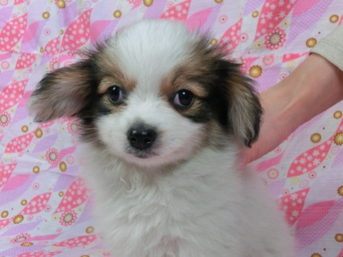 パピヨンの子犬(ID:1244711369)の2枚目の写真/更新日:2017-03-07