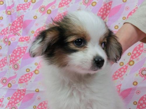 パピヨンの子犬(ID:1244711369)の3枚目の写真/更新日:2017-03-07