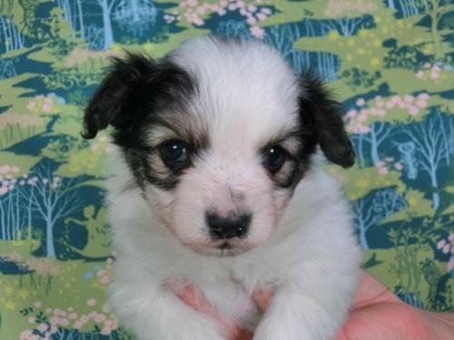パピヨンの子犬(ID:1244711372)の2枚目の写真/更新日:2017-02-07