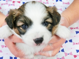 パピヨンの子犬(ID:1244711374)の1枚目の写真/更新日:2017-02-07