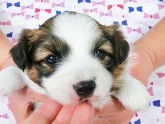 パピヨンの子犬(ID:1244711374)の2枚目の写真/更新日:2017-02-07