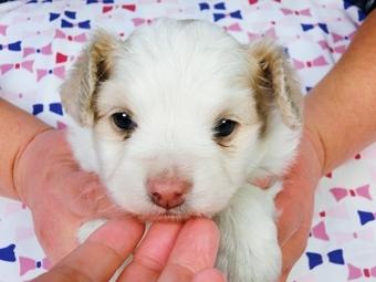 パピヨンの子犬(ID:1244711375)の1枚目の写真/更新日:2017-02-07