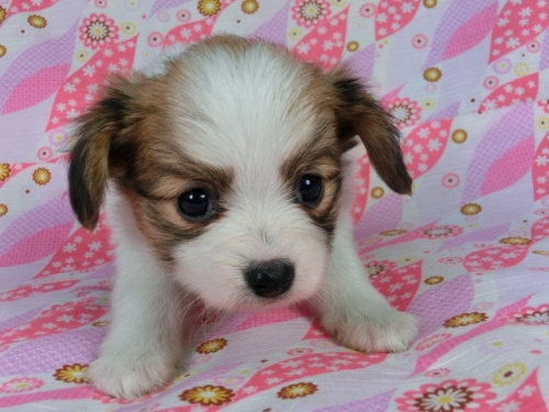 パピヨンの子犬(ID:1244711377)の1枚目の写真/更新日:2017-02-13