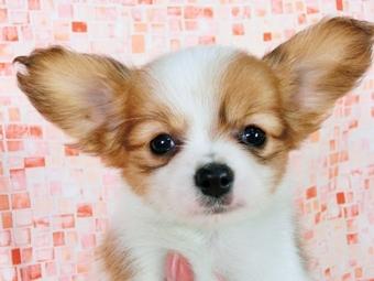 パピヨンの子犬(ID:1244711378)の1枚目の写真/更新日:2017-02-28