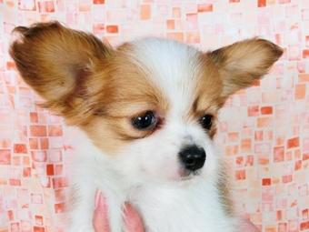 パピヨンの子犬(ID:1244711378)の3枚目の写真/更新日:2017-02-28